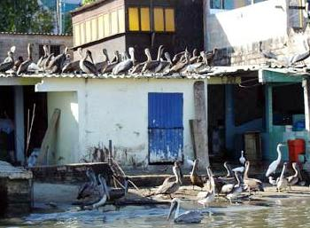 oiled Brown pelicans in mexico