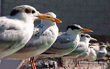 Photo of Elegant Terns before being released from San Pedro bird center at International Bird Rescue