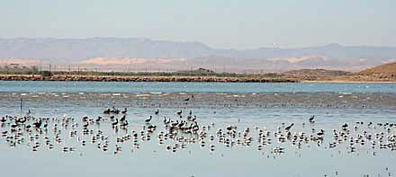 Photo of surviving baby Caspian Terns released at Salton Sea in August 2006 by International Bird Rescue