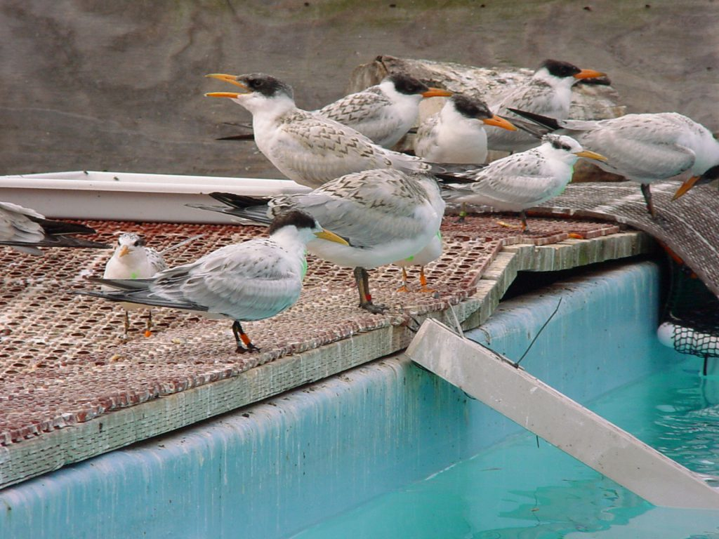 Photo of Caspian Terns in care after rescue in 2006 at International Bird Rescue's Los Angeles Wildlife Center