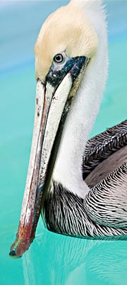 Brown Pelican at in care at International Bird Rescue