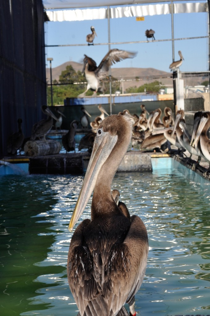 California Brown Pelicans in the Aviary at International Bird Rescue