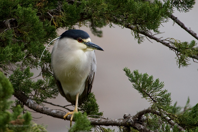BC Night Heron_N6T7970-2