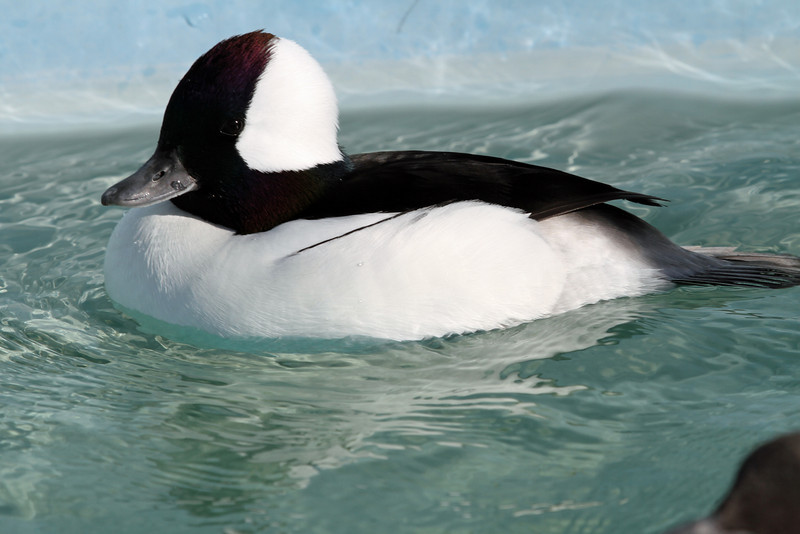 Bufflehead, Male 01-L