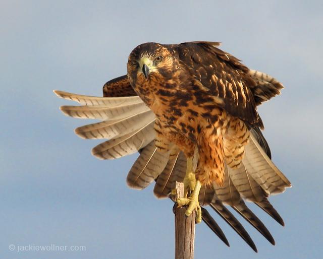 Galapagos Hawk 146-4627_CRWh1