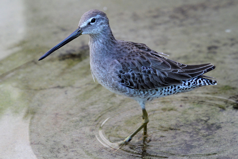 Long-Billed Dowitcher 02-L