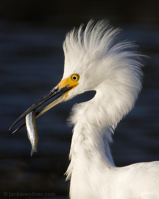 Snowey Egret 9608 A01