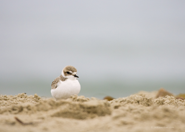 Snowy Plover_N6T1315 A01