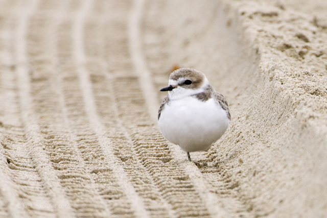 Snowy Plover_N6T1351 A02