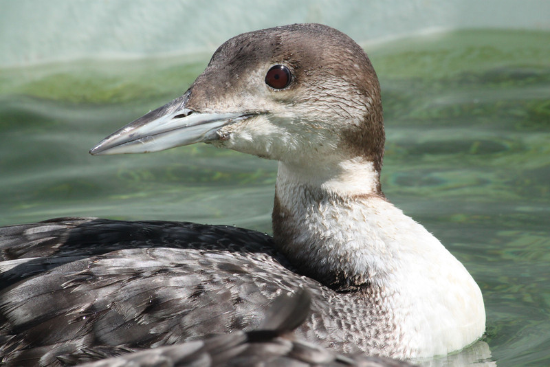 Common Loon at SFB Center
