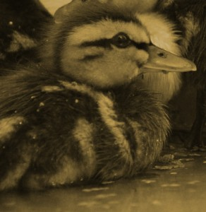 Duckling mug
