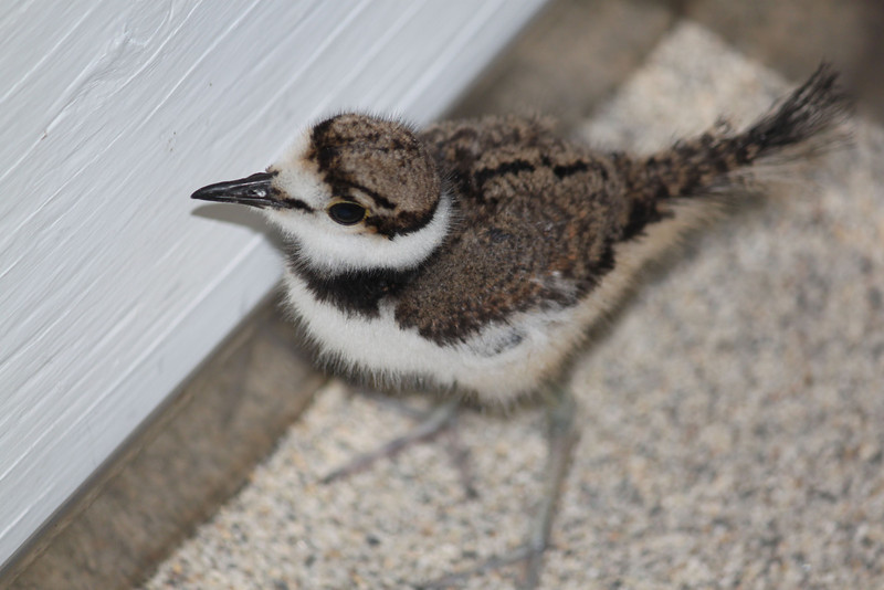 Baby Kildeer at SFB Center