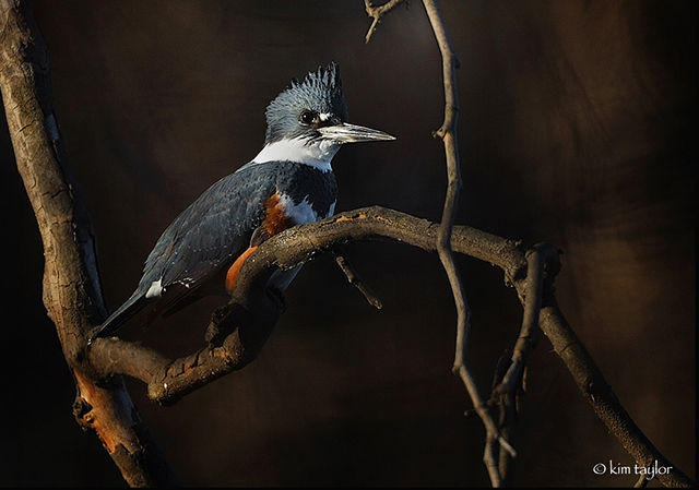 Belted Kingfisher_ktaylor