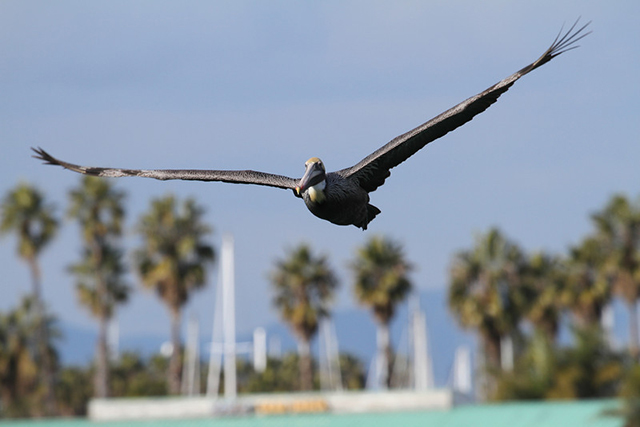 Brown Pelican-Bill Steinkamp