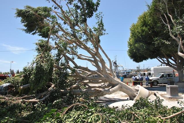 San Pedro tree-Kylie Clatterbuck