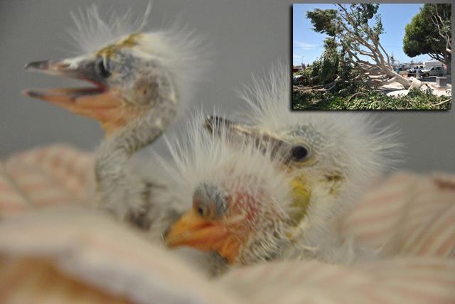 Snowy-Egrets-Bill-Steinkamp