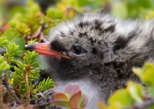 737px-Arctic_Tern_chick-4c
