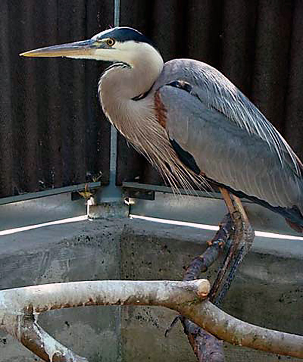 GB_Heron_second_time-2008