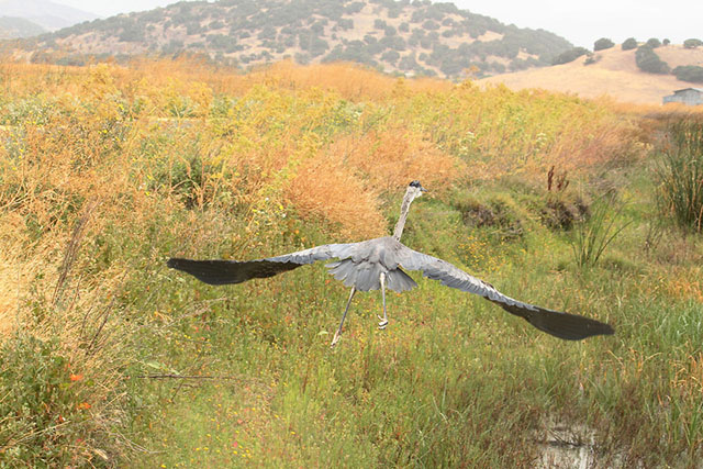 Great Blue Heron 13-1701 from SF Bay Center release.