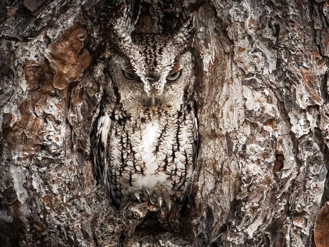 Graham-McGeorge-Eastern-Screech-Owl(2)