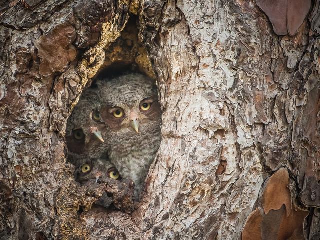 Graham-McGeorge-Owl2