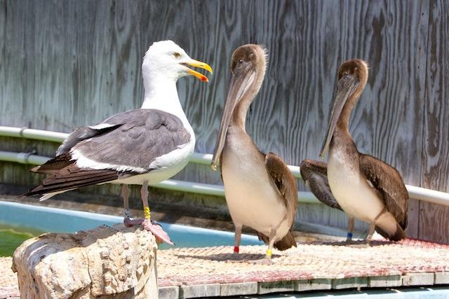 Gull-Pelican IMG_6255-L