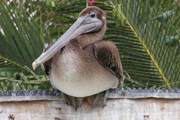 Pelican, Brown IMG_5855-M