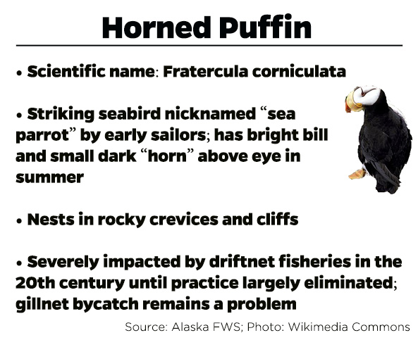 Horned-Puffin