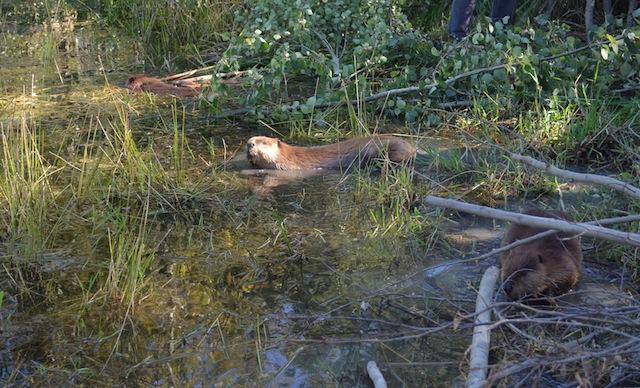 Beaver release 2sm