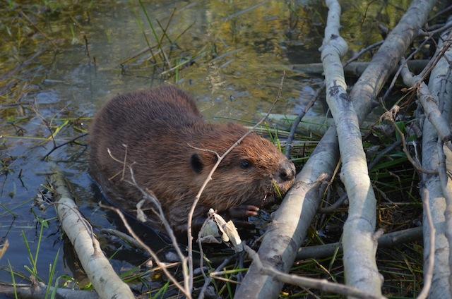 beaver release sm
