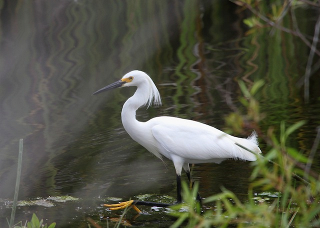 Egret, Snowy IMG_4930-L