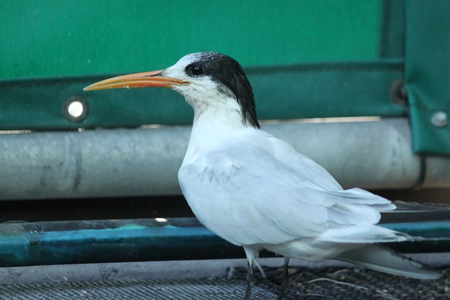 Elegant Tern 13-2408 in care at SF Bay Center, pellet in shoulder