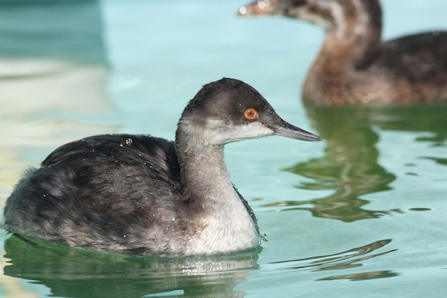 Eared Grebe 13-2405 in care at SF Bay Center