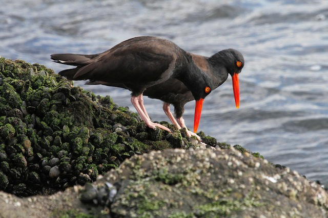 Oyster Catcher-L