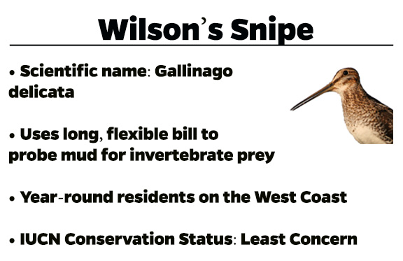 Snipe Infographic