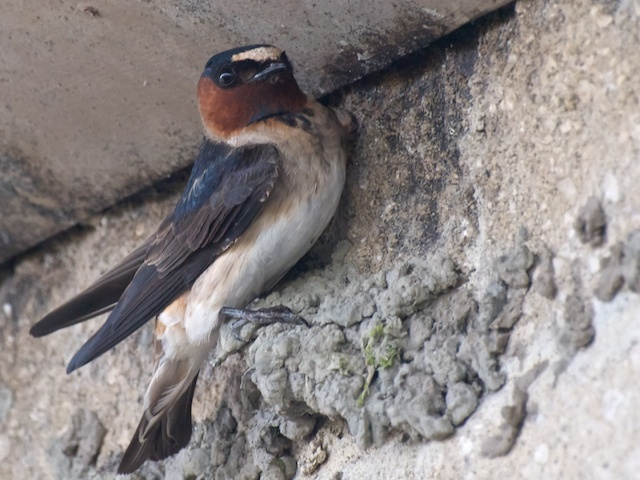 Cliff_Swallow_Builder