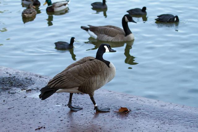 Goose, Canada IMG_5528-L