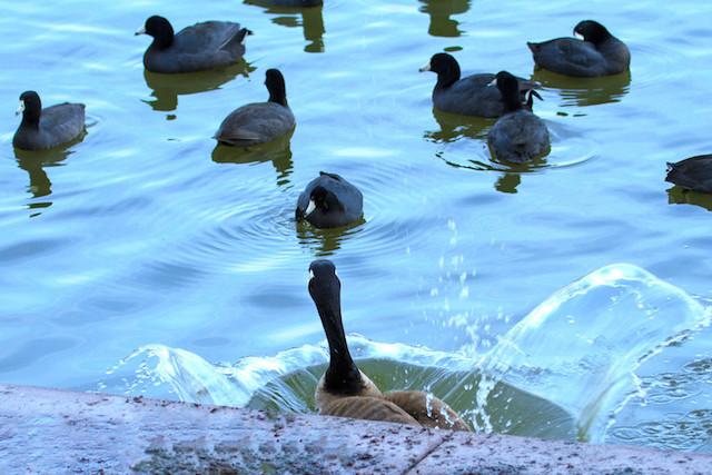 Goose, Canada IMG_5530-L