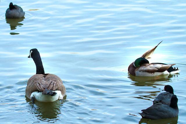 Goose, Canada IMG_5548-L