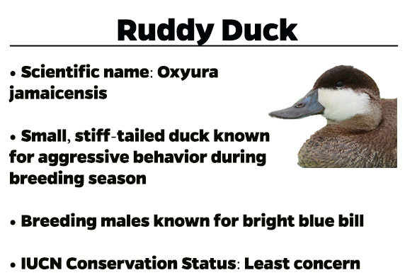 Ruddy-Duck
