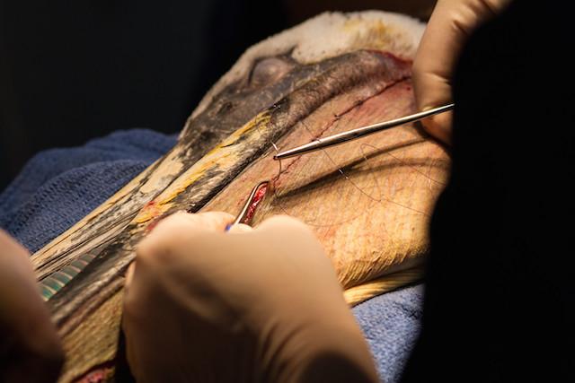 IBR-Pelican Surgery 04282014_2
