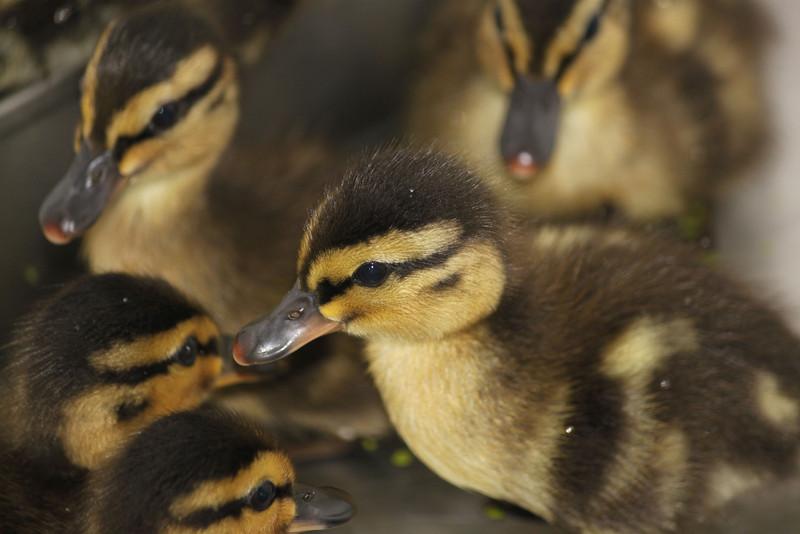 Mallard Ducklings in care at SF Bay Center