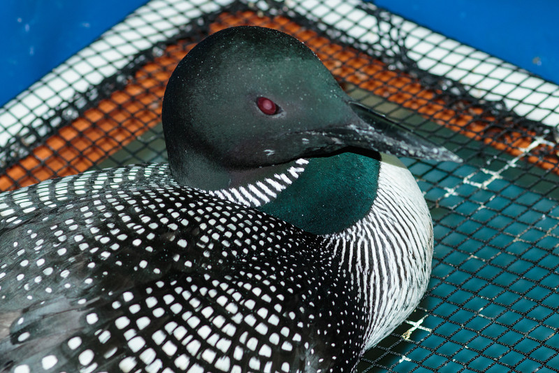 Loon, Common IMG_0408-L