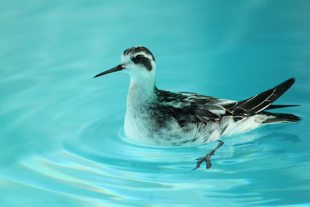 Red-Necked Phalarope at SF Bay Center