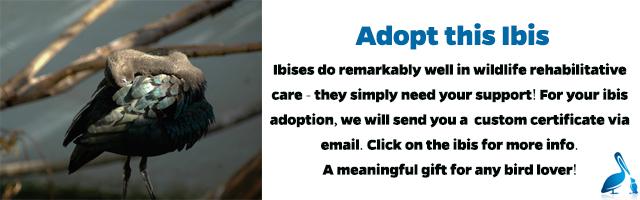 Ibis Adoption