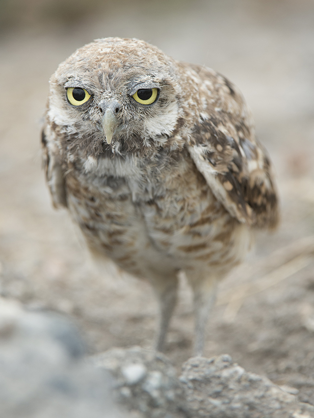 Burrowing Owl, Karen Schuenemann