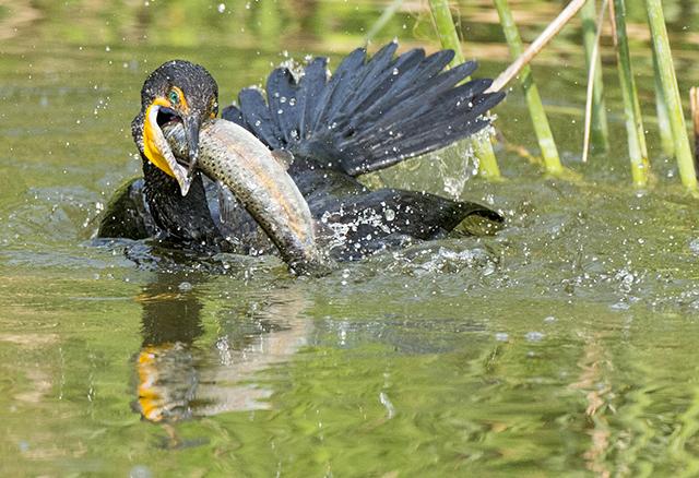 Double-crested Cormorant, Karen Schuenemann
