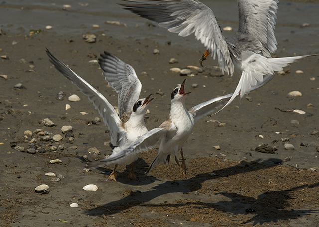 Forsters Terns, Karen Schuenemann