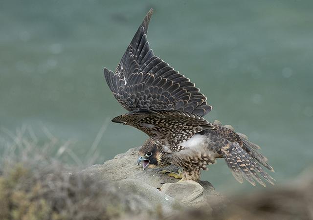 Peregrine Falcon, Karen Schuenemann