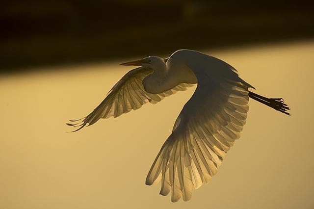 Snowy Egret, Karen Schuenemann